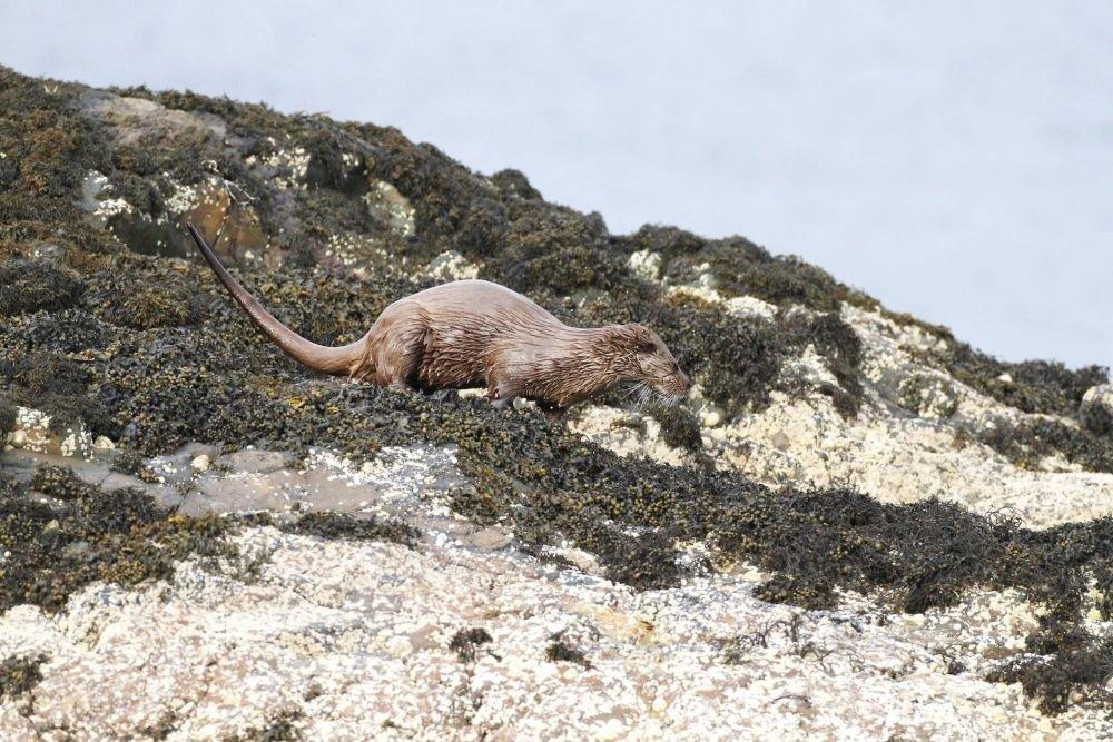 Loutre îles Shetland Ecosse