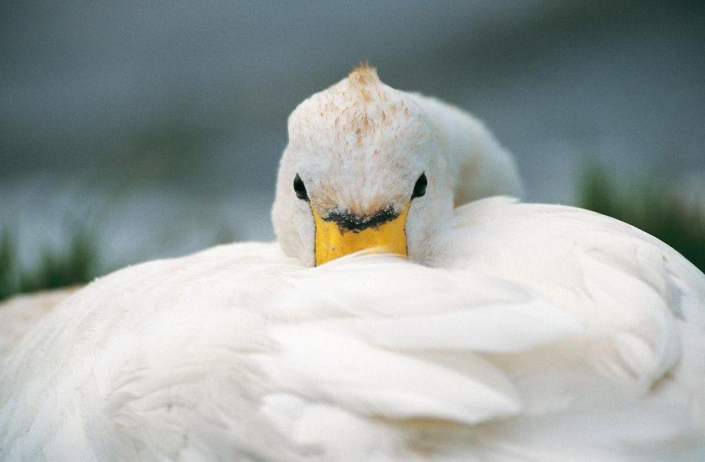 Cygne îles Shetland Ecosse