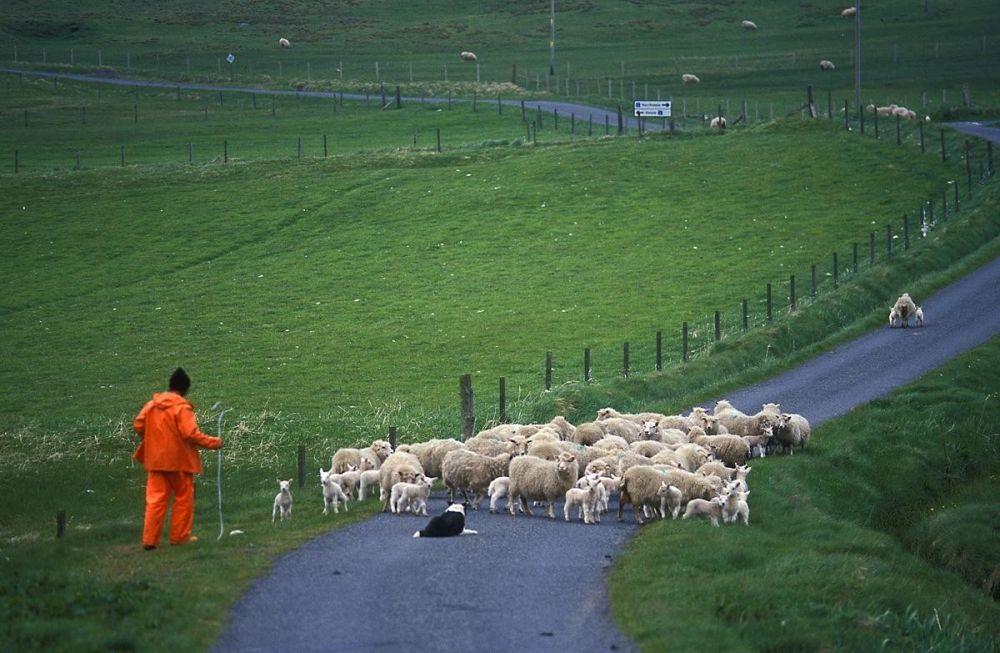 Berger et troupeau de moutons îles Shetland Ecosse