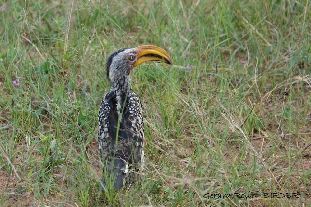 Calao leucomele Afrique du Sud