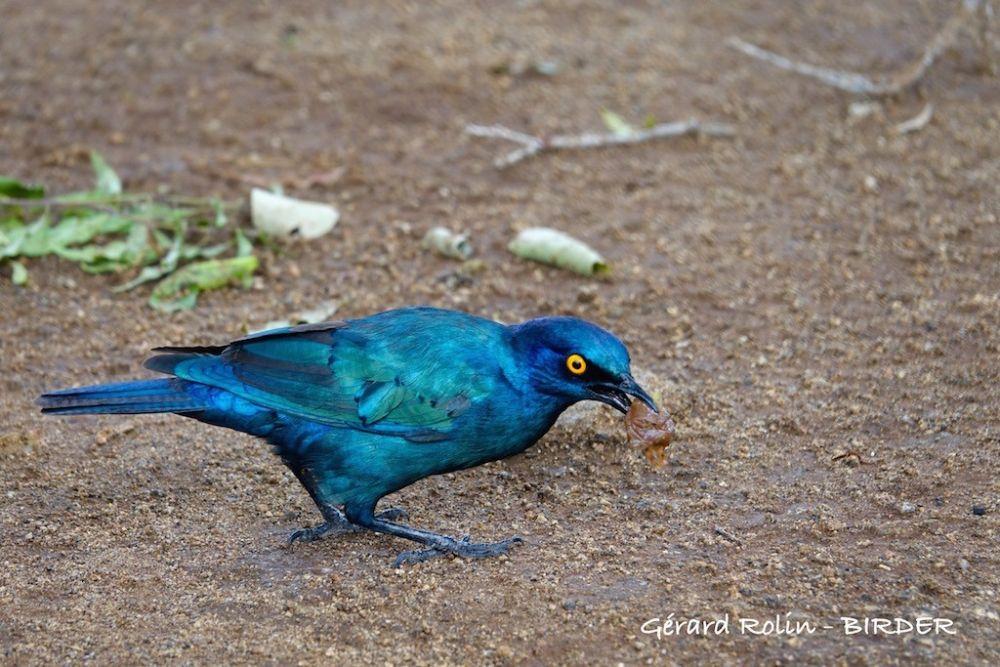 Choucador à oreillons bleus Afrique du Sud