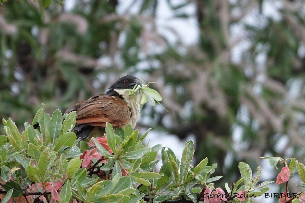 Coucal de Burchell Afrique du Sud