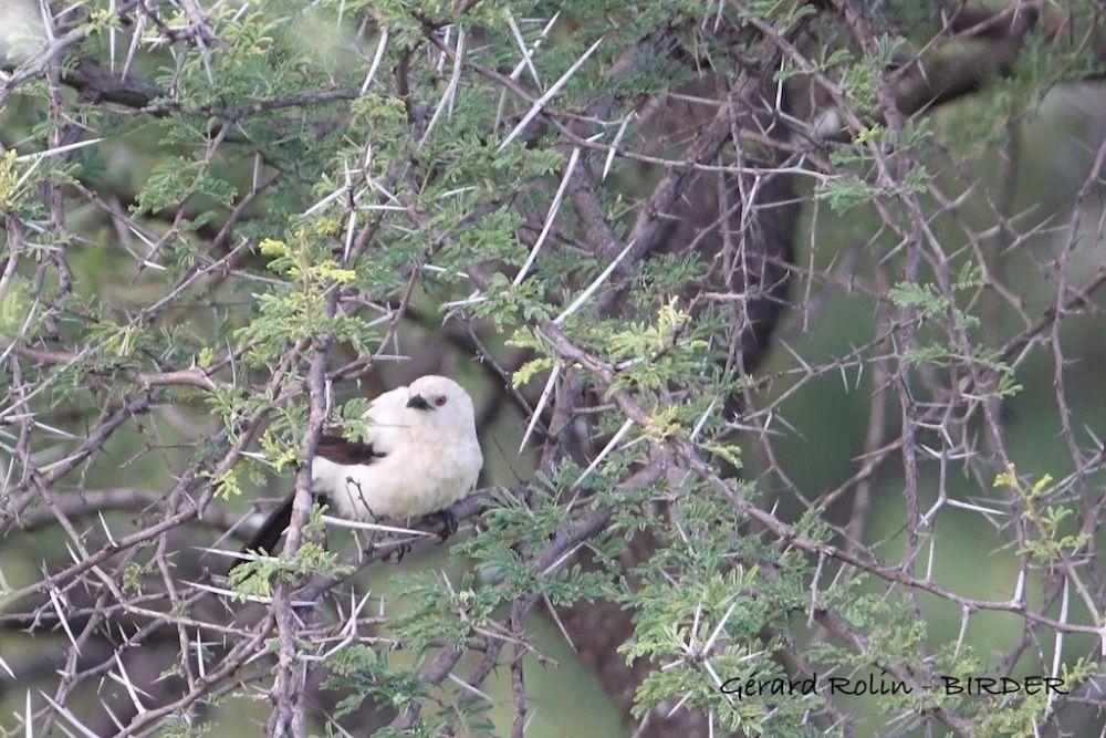 Craterope bicolore Afrique du Sud