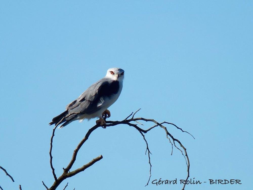 Elanion blanc Afrique du Sud