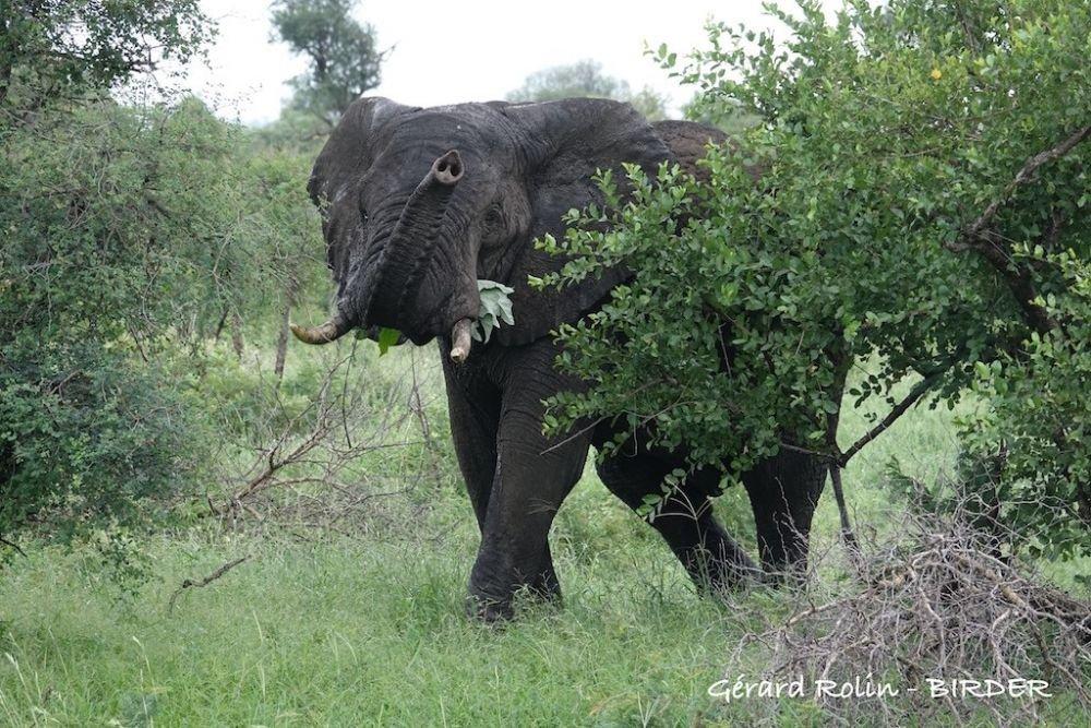 Élephant d'Afrique Afrique du Sud