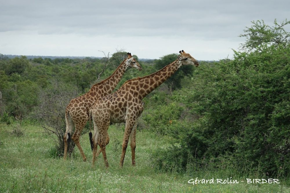 Girafes Afrique du Sud