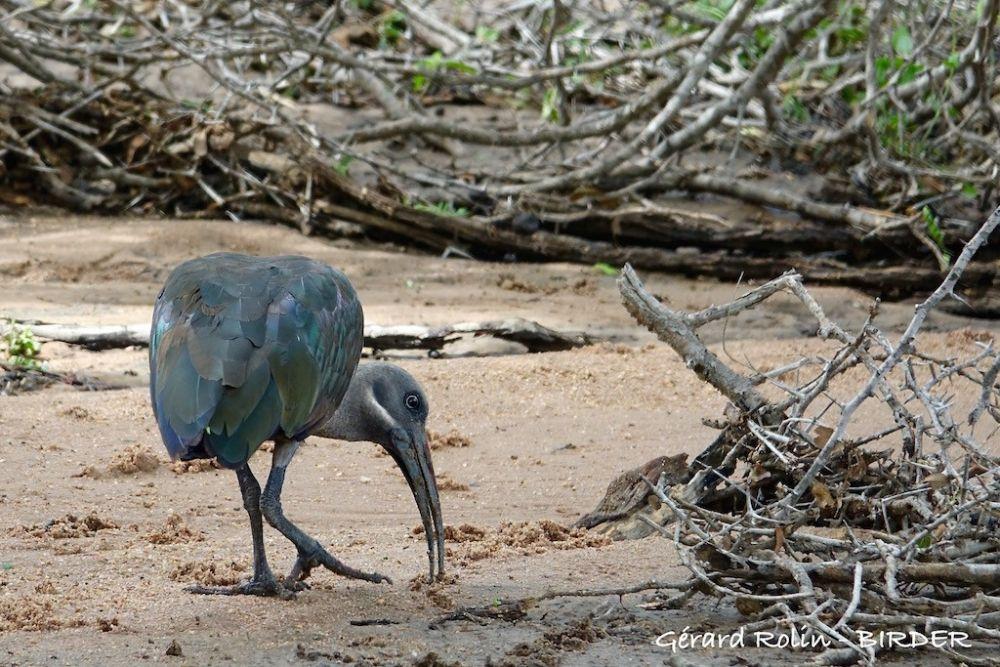 Ibis hagedash Afrique du Sud