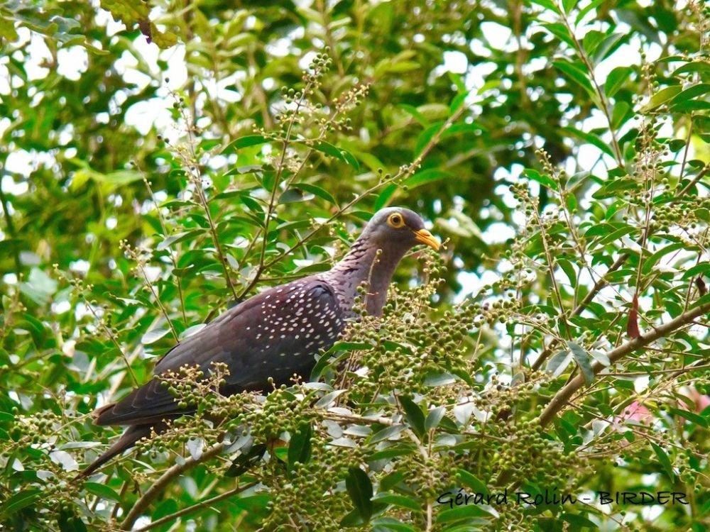 Pigeon rameron Afrique du Sud