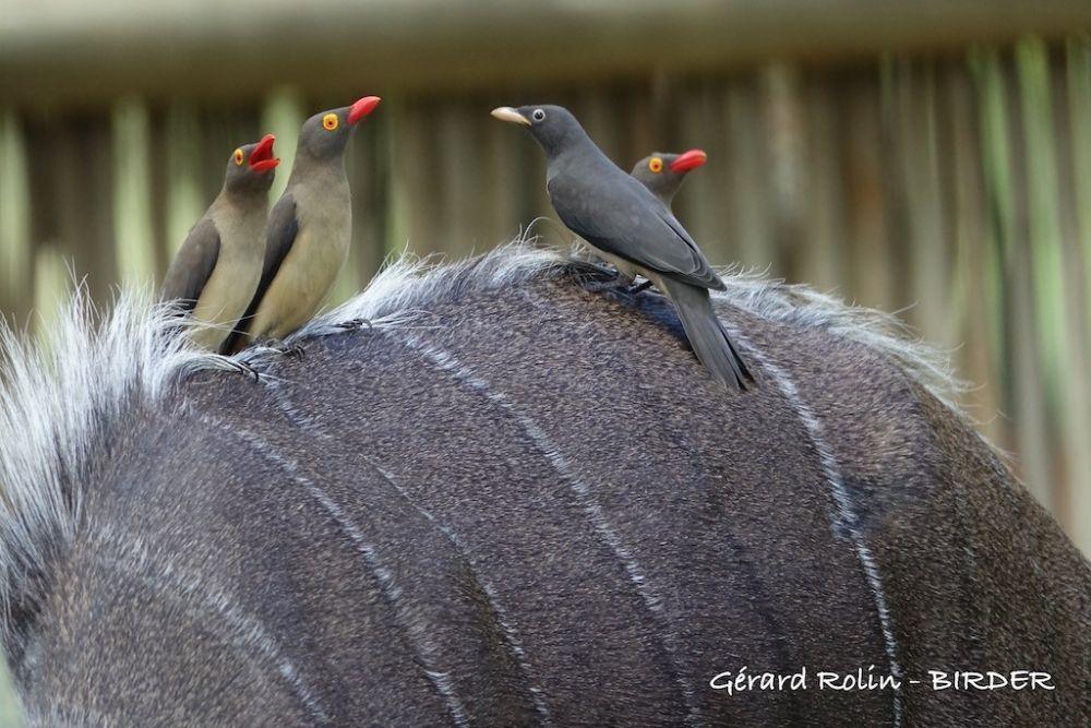 Piqueboeufs à bec rouge Afrique du Sud