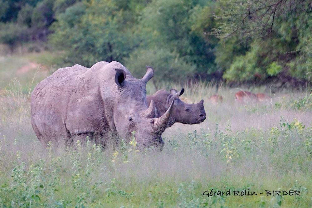 Rhinos blancs Afrique du Sud