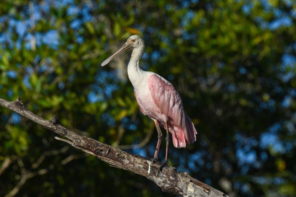 Spatule rosée Costa Rica