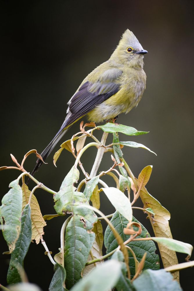 Ptilogon Costa Rica