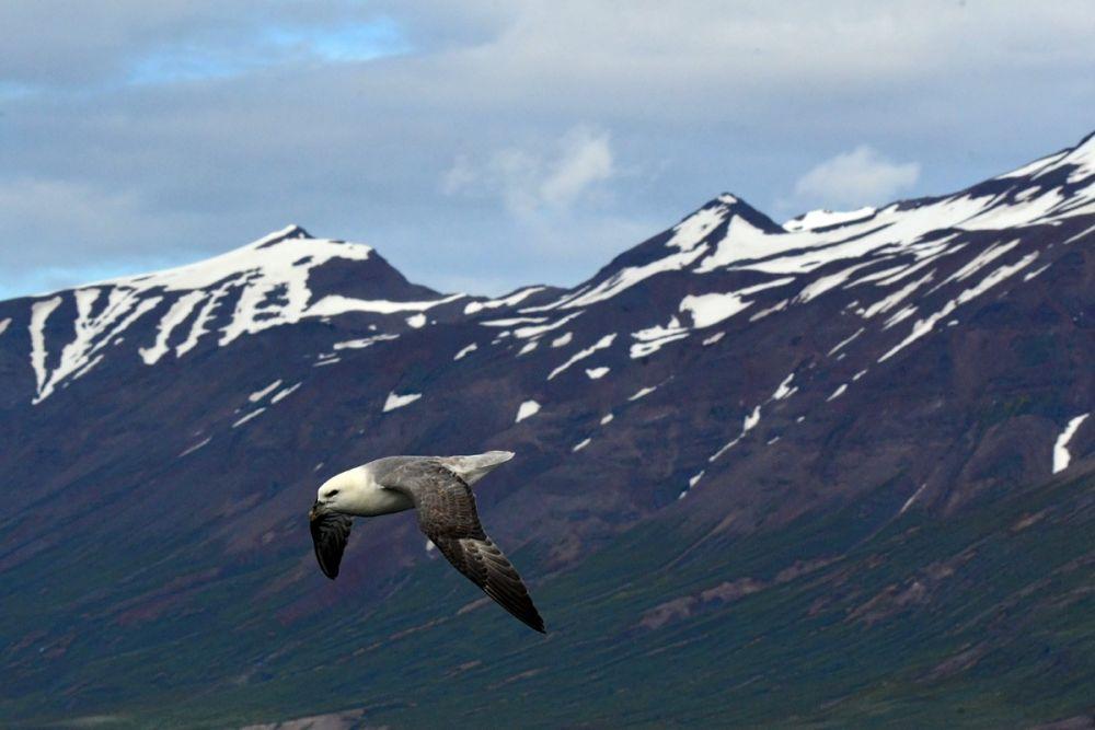 Fulmar boreal Islande