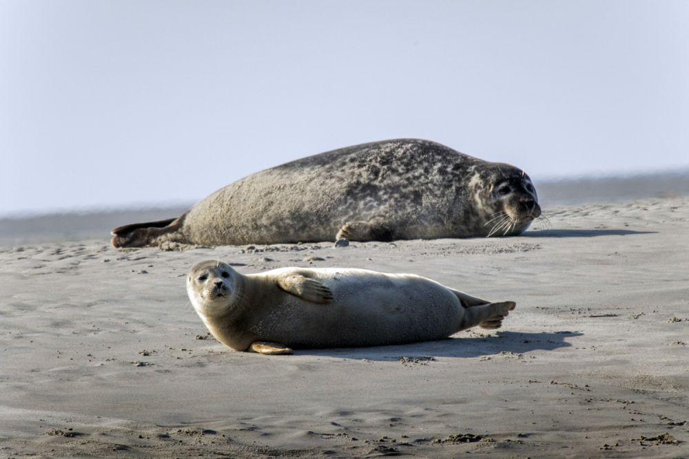 Phoque veau-marin île Texel Pays-Bas