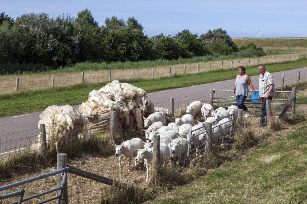 Tonte des moutons île Texel Pays-Bas