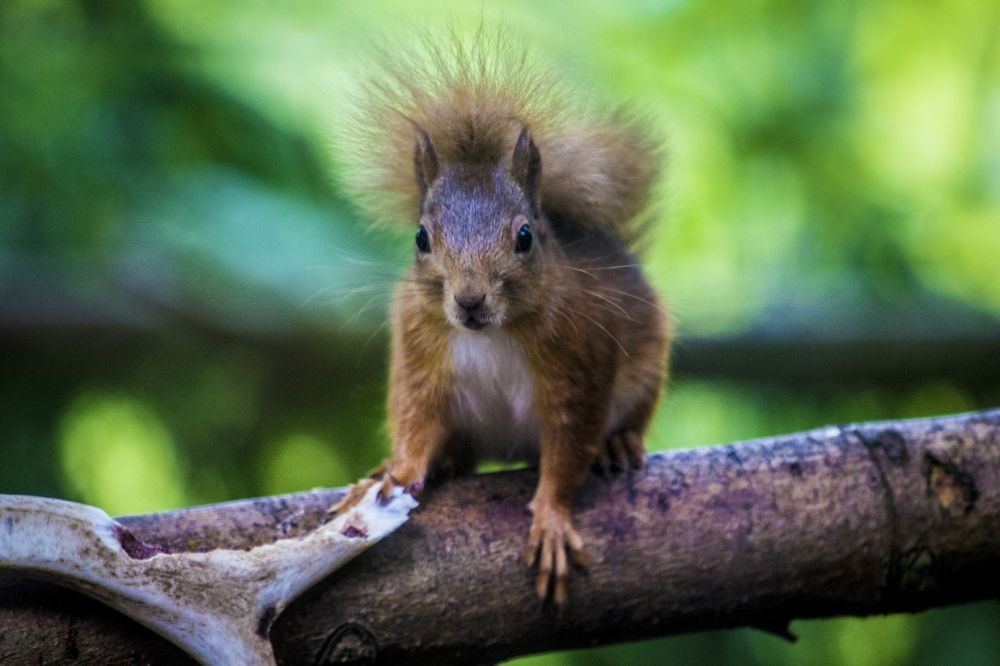 Écureuils roux Écosse