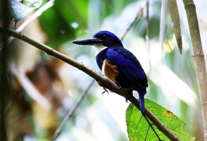 Martin-chasseur bleu-noir © Mehd Halaouate