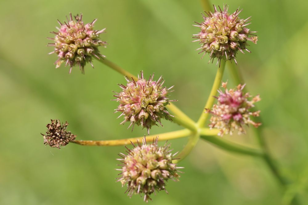 Oenanthe à feuilles de silaus (Oenanthe silaifolia) en fruits ©-Pascal-LACROIX