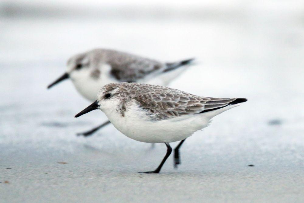 voyage-nature-becasseau-sanderling-bretagne-©sylvain-reyt.jpg