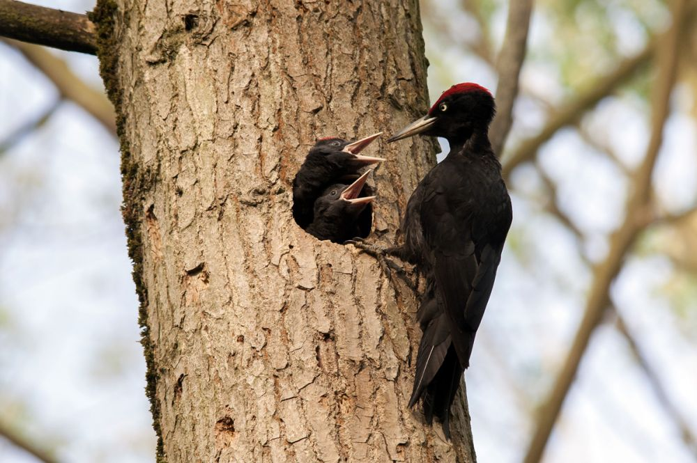 sejour-nature-avesnois-pic-noir-gregory-smellinckx.jpg