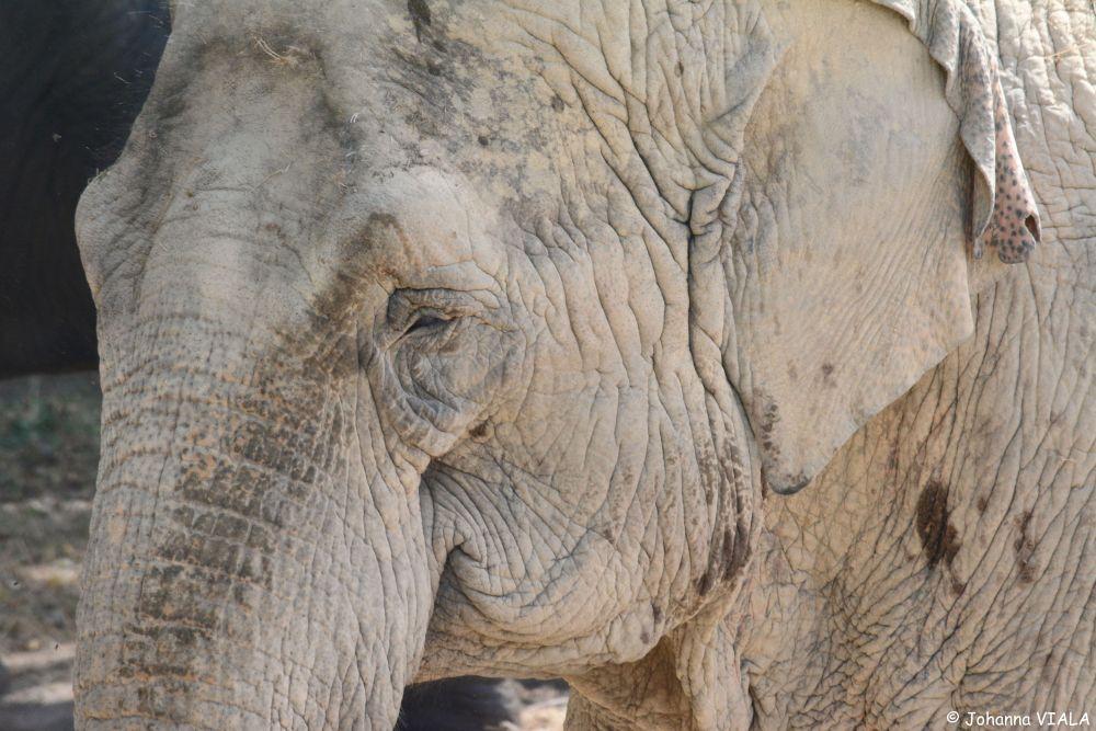 Eléphant d'Asie © Johanna Viala