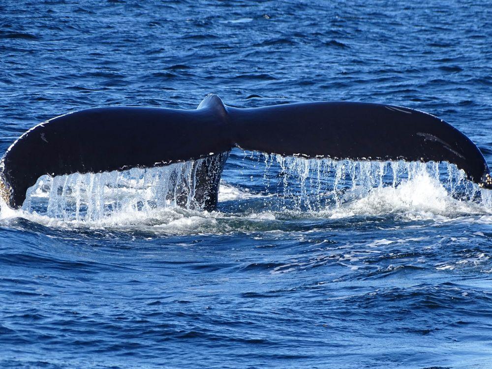 Baleine à bosse © Dimitri Marguerat