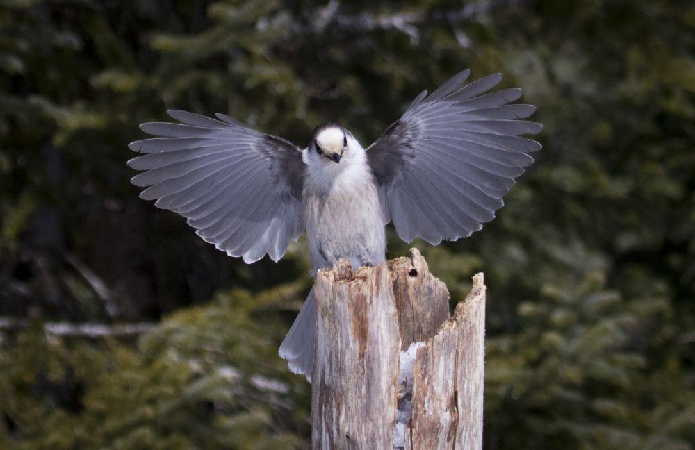 Mésangeai du Canada © Steve Guerard