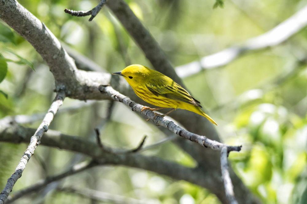 Paruline jaune © Andre Chivinski