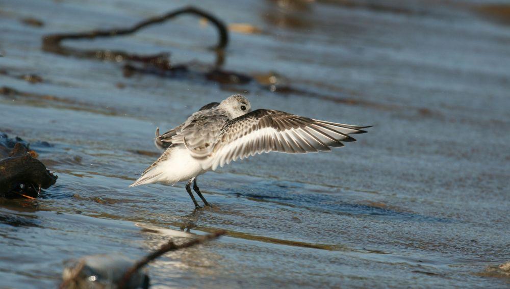 Bécasseau sanderling © Matt Tillett