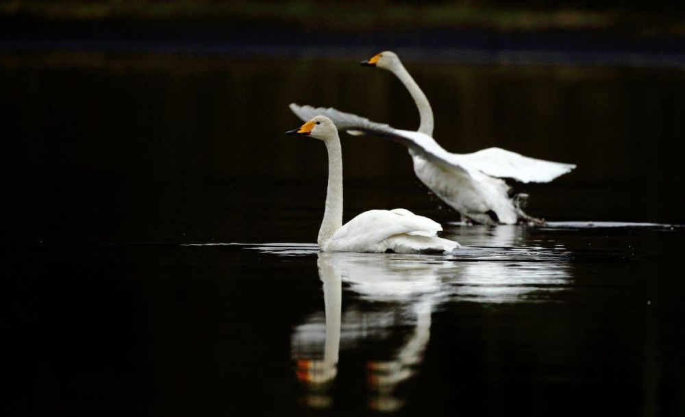 Cygnes chanteurs ©Luke Massey