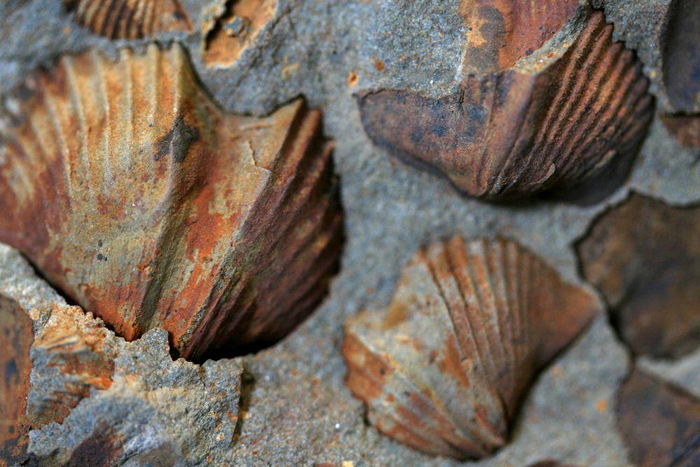 Brachipodes fossiles dans le grés © Maison des Minéraux