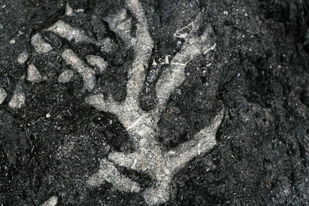 Coraux fossilisés caclaire © Maison des Minéraux