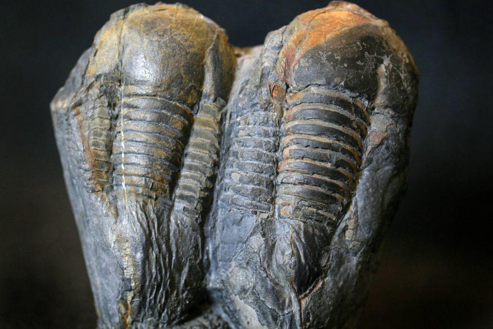 Trilobites de la collection paléontologique de la Maison des Minéraux