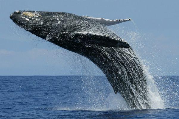 Baleine bleue © Amila Tennakoon