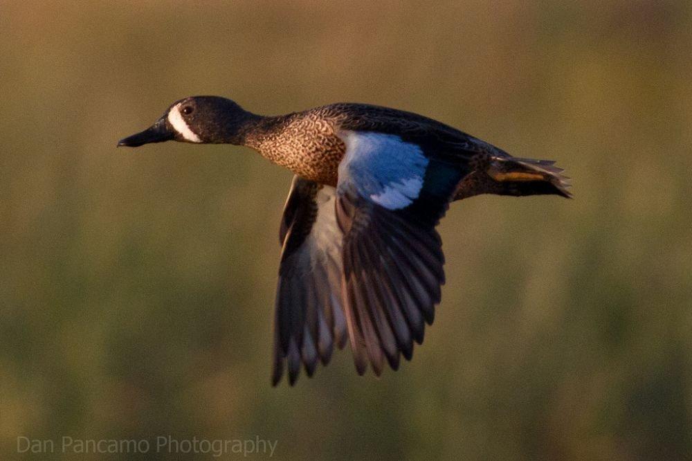 Sarcelle à ailes bleues © Dan Pancamo