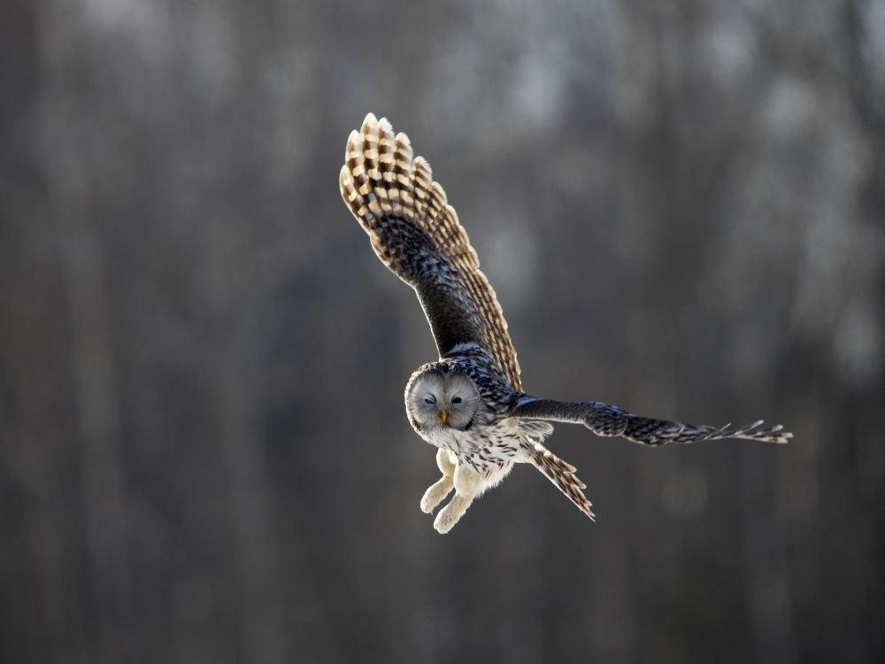 Chouette de l Oural © Sven Zacek