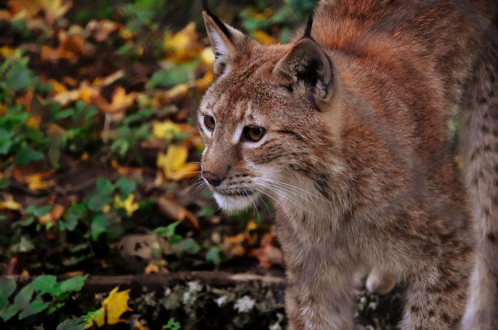 Lynx © Jeroen Moes