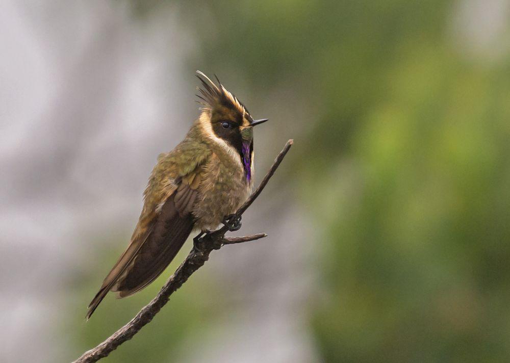 colibri de stubel © juan jose arango
