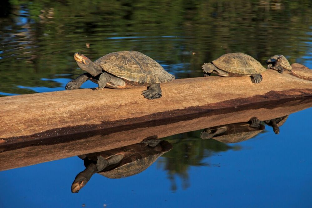 Tortues Charapas © Amazon River Station