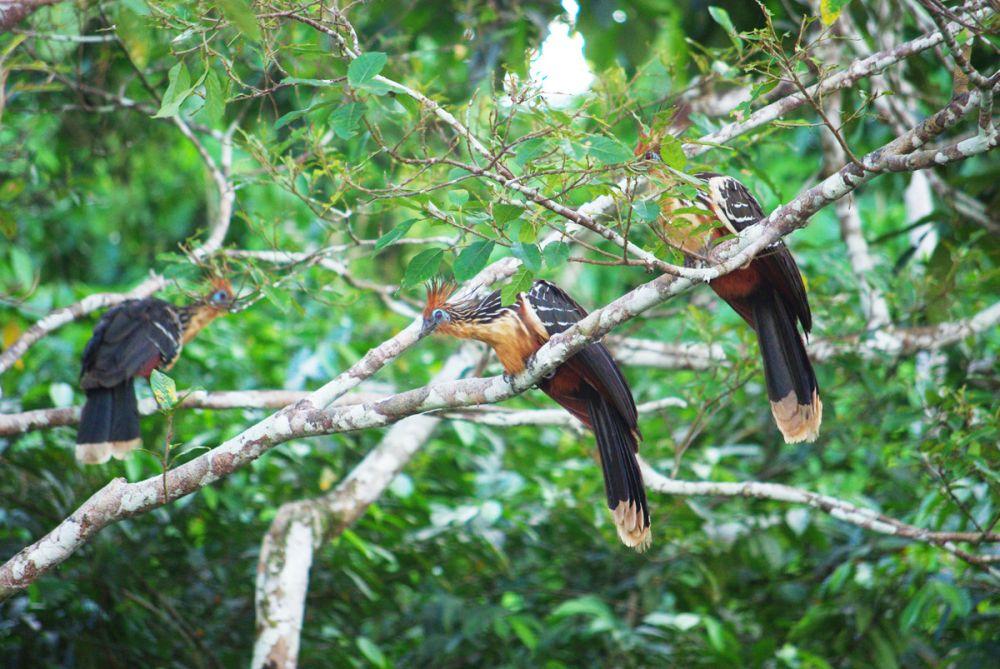 Hoazin huppé © Manatee Amazon Explorer