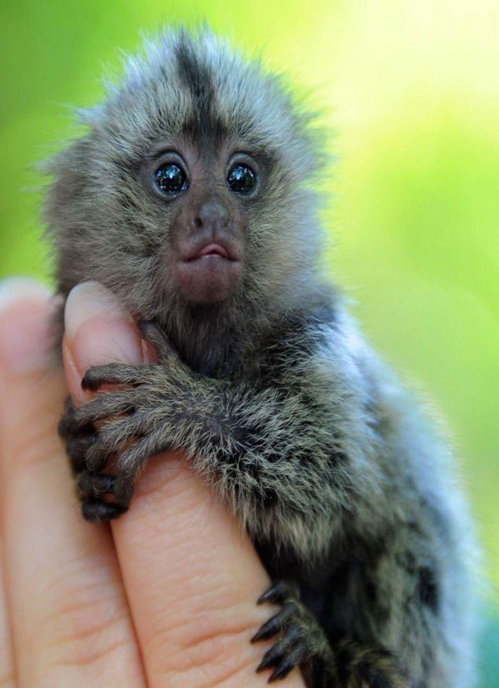 Ouistiti pygmée © Advantage Travel