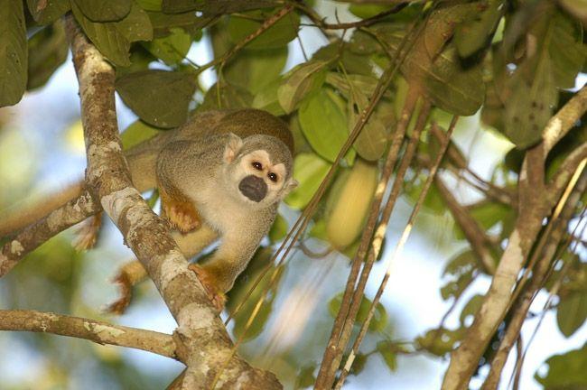 Singe écureuil, Equateur © Advantage Travel