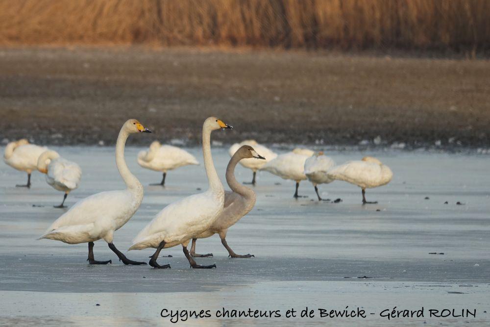 Cygnes chanteurs et de Bewick © Gérard Rolin
