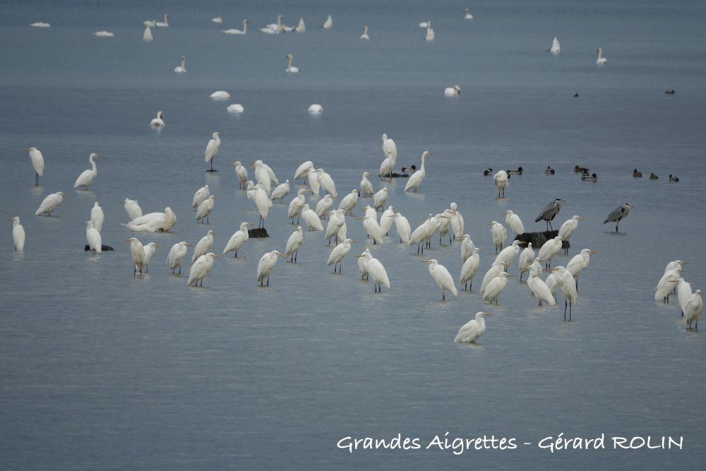 Grandes aigrettes © Gérard Rolin