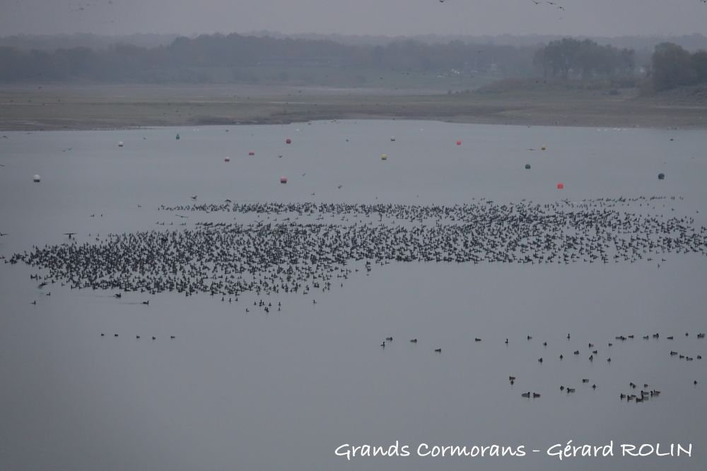 Grands cormorans © Gérard Rolin