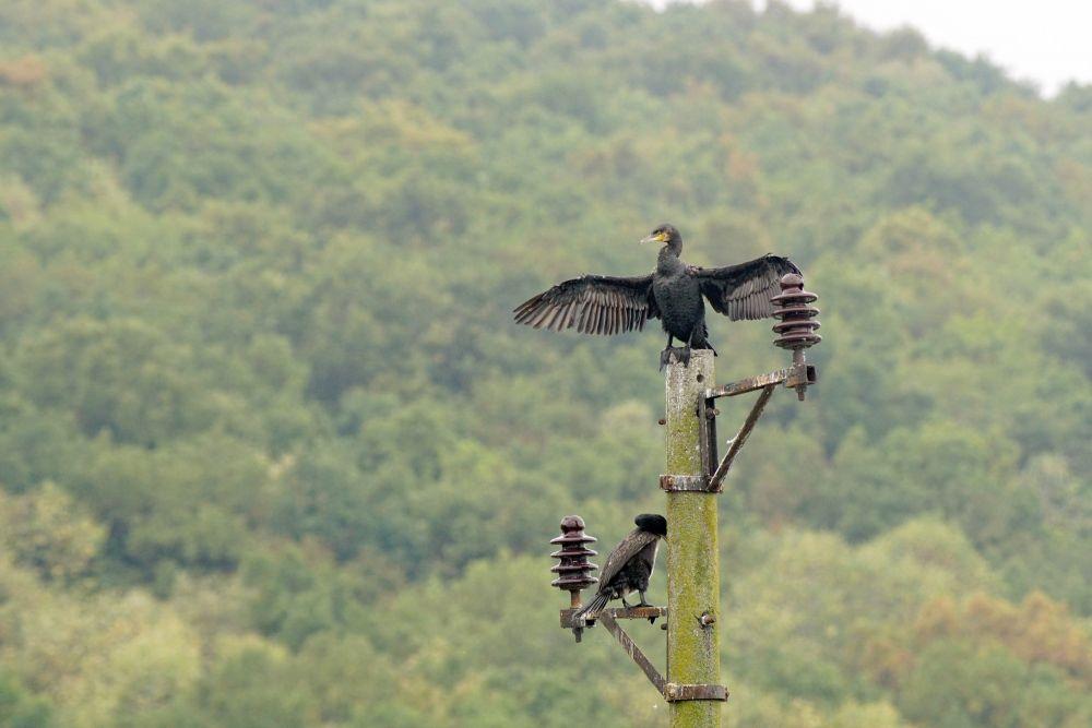 Grand cormoran © Assen Ignatov