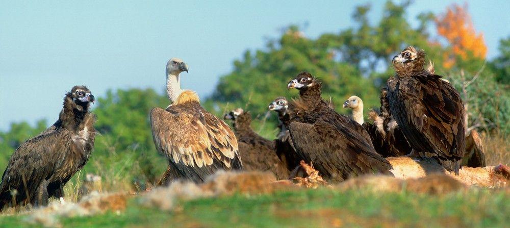 Griffon et vautour noir © Andreev