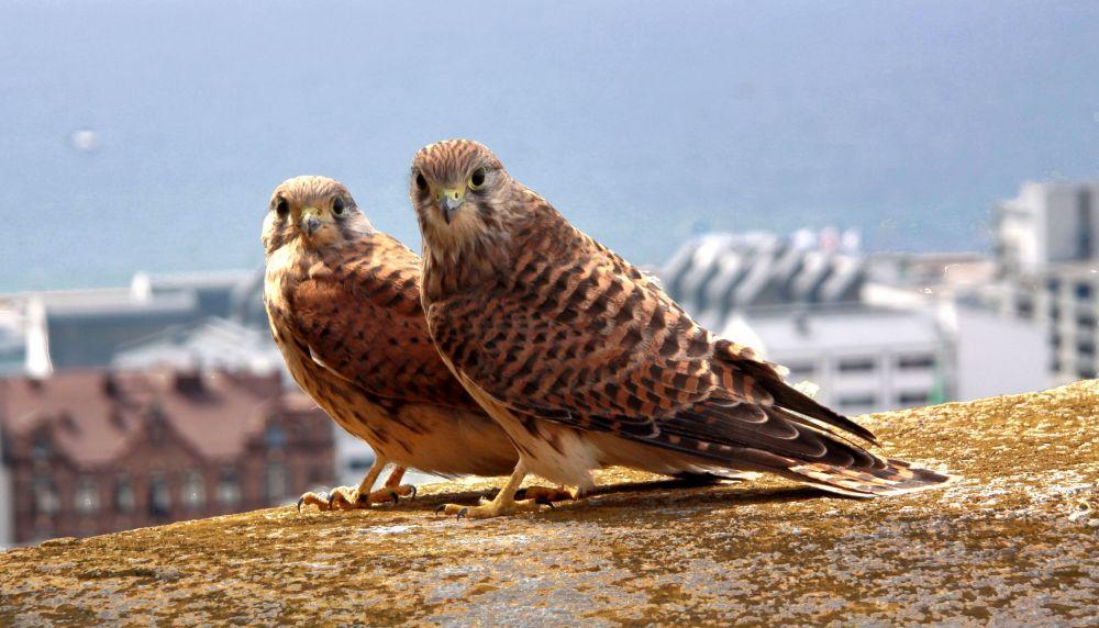 Faucons crécerelle © Guillaume Baviere