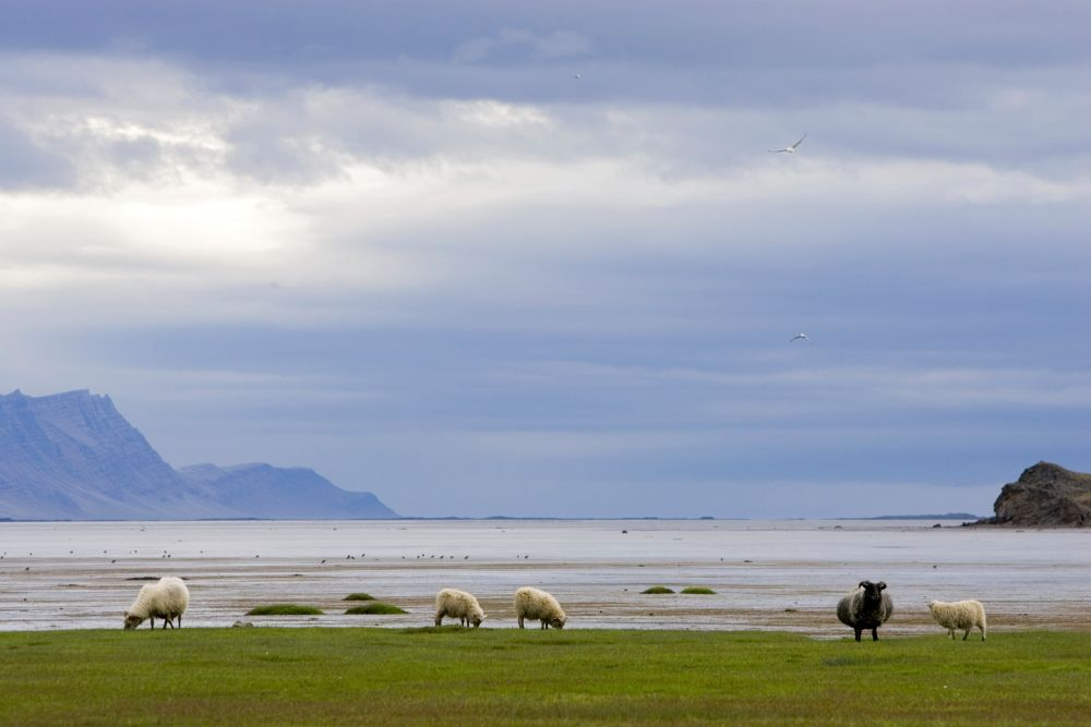 Moutons © Christophe Doucet