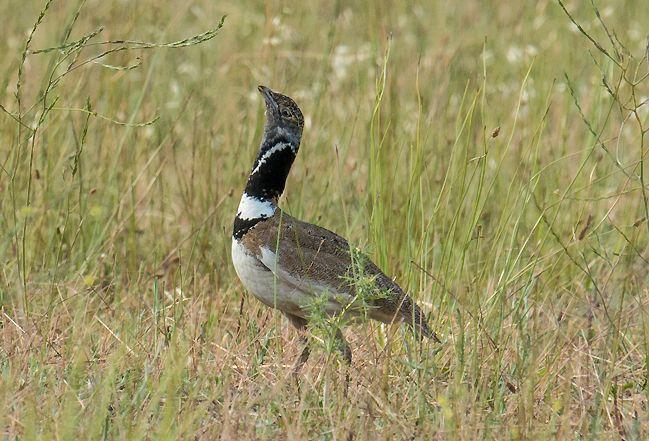 Séjour nature France - LPO Ornithologie initiation - Alpilles et Crau Hiver - Outarde - Alain Hugues
